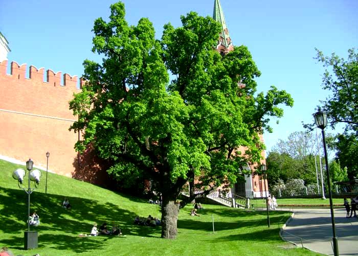 200-летний дуб